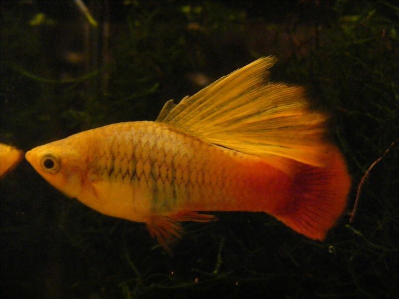 Quel poisson exotique pour eau froide? Photo_12