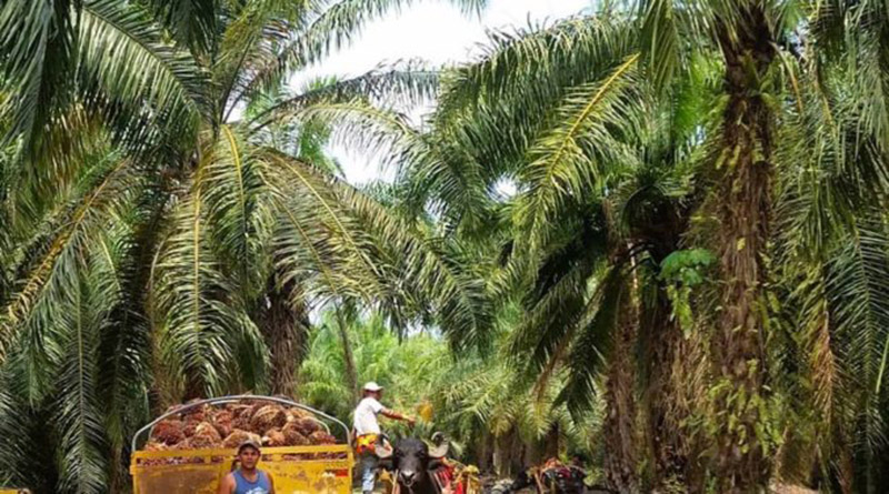 Union Europea ya no comprara aceite de Palma Africana Palma-10