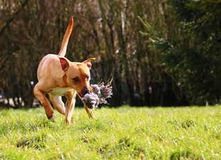 Flash, mâle castré croisé Labrador 28616810