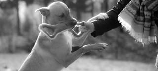 Flash, mâle castré croisé Labrador 28958710