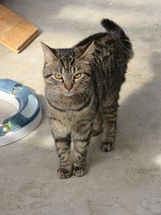 Mistigri, mâle tigré castré 29472510