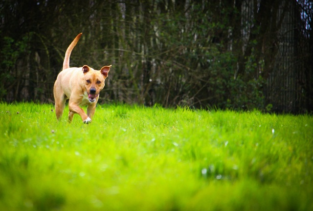 Flash, mâle castré croisé Labrador 29983110