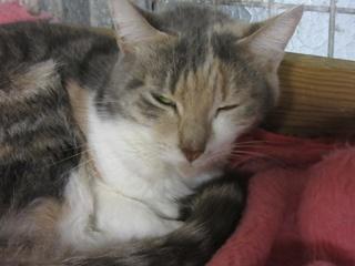 Laly, femelle tricolore stérilisée 32560310