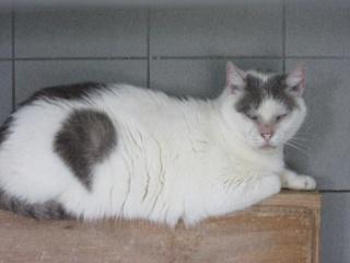 Garfield, mâle castré blanc/gris 34031910