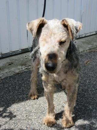OSCAR - fox terrier 8 ans - SPPA à Amiens (80) Img_2416