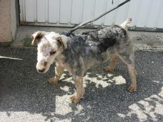 OSCAR - fox terrier 8 ans - SPPA à Amiens (80) Img_2417