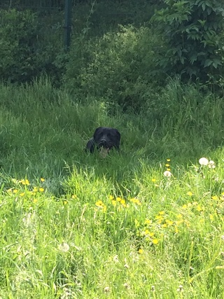 Mickey, mâle croisé labrador Img_2421