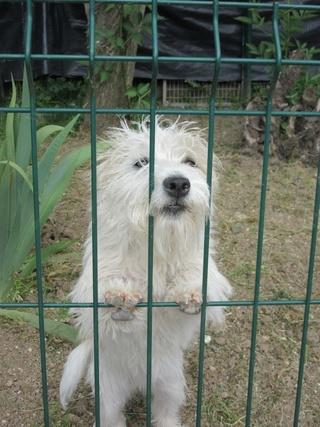 Sarah, femelle croisée yorkshire terrier/jack russel Img_2422
