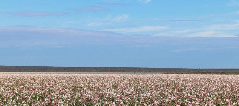 LES LYS DE SANDHOF (Namibie) Sans_t11
