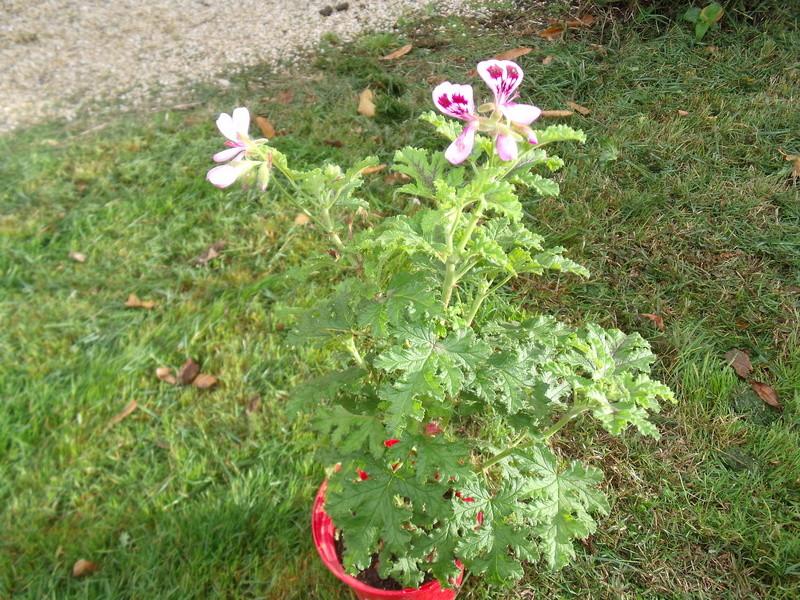 Pelargonium quercifolium  [Identification] Gerani11
