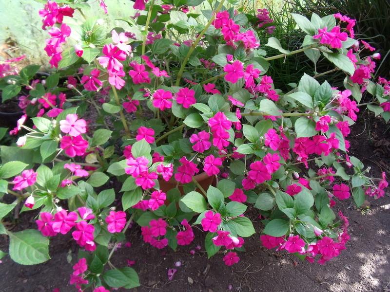 Mon (tout) petit jardin en mode tropical Impati11