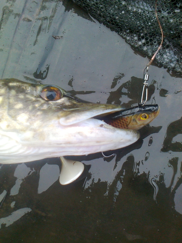 pike still active on the lures Robin_10