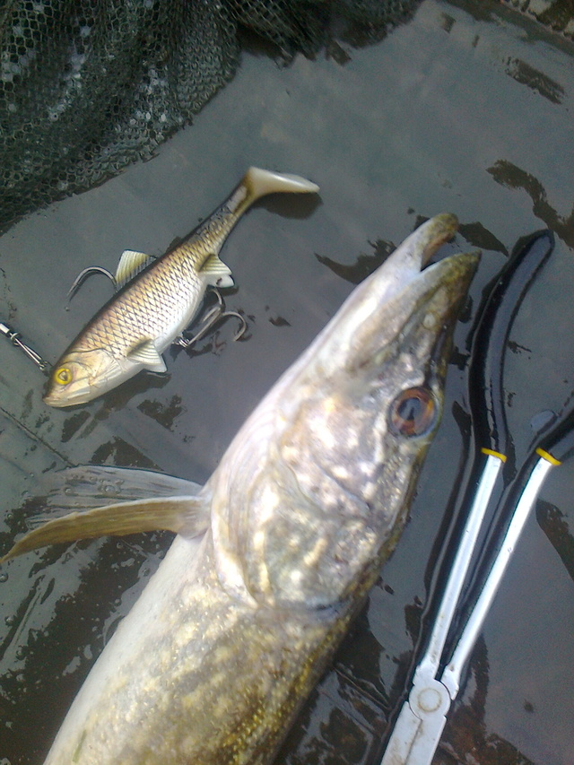 pike still active on the lures Robin_12