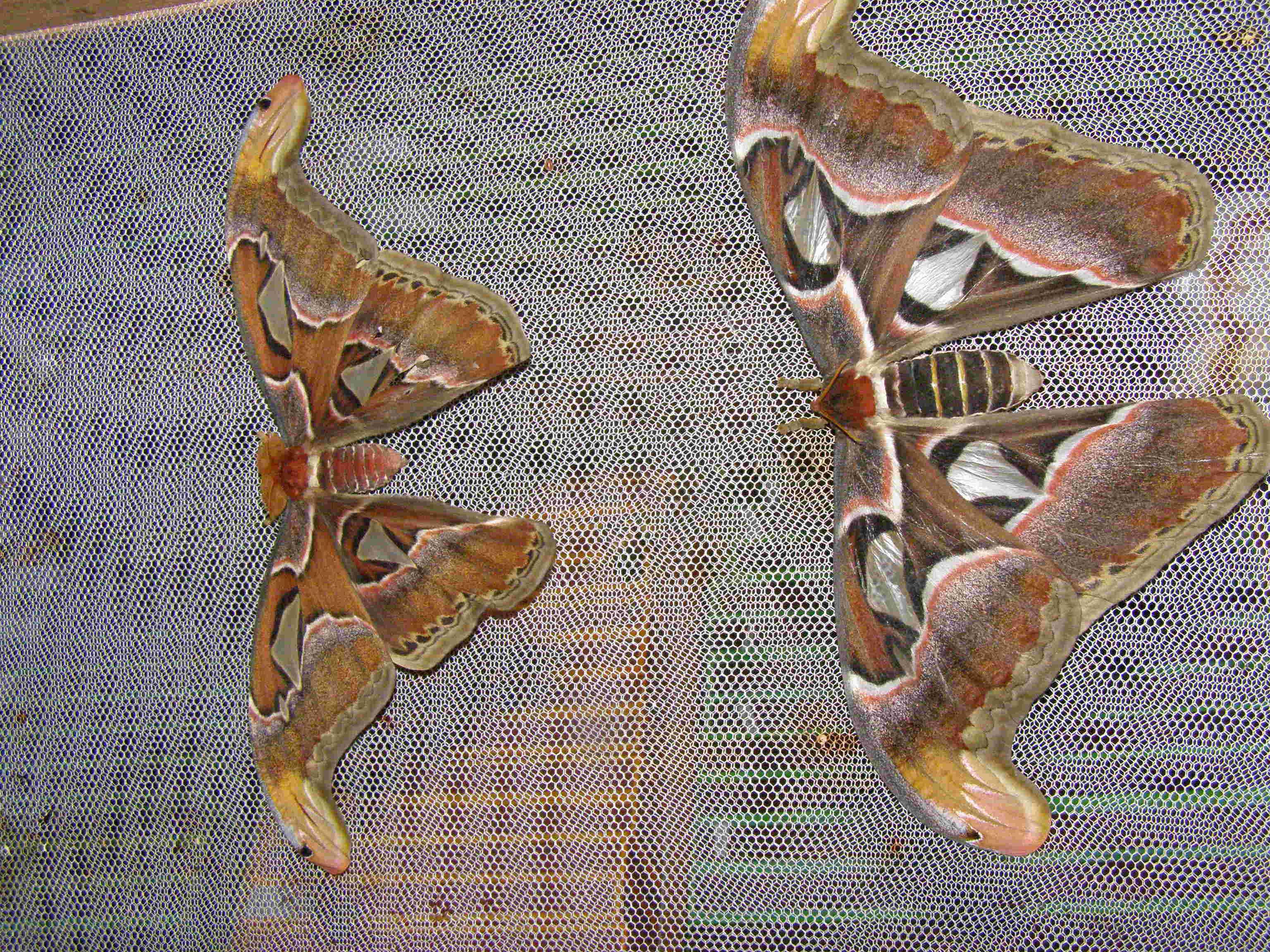 couple dAttacus atlas  P1010015