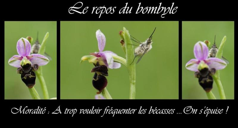 Le repos du Bombyle Montag16