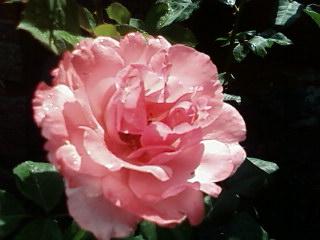 Clivia en plein air ce matin Rose_r10