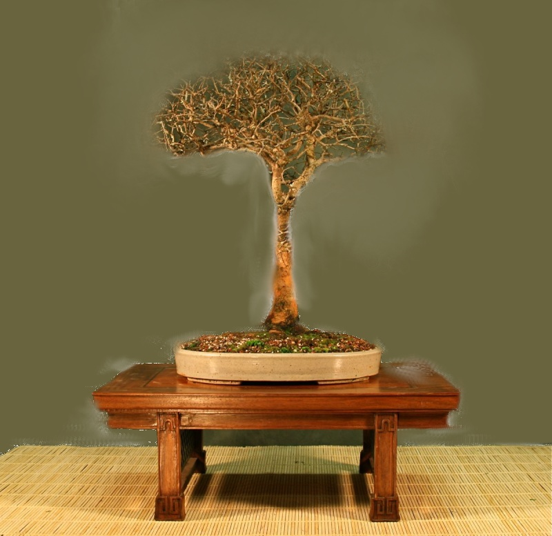 Which Broom - A Chinese Elm one 2010_010