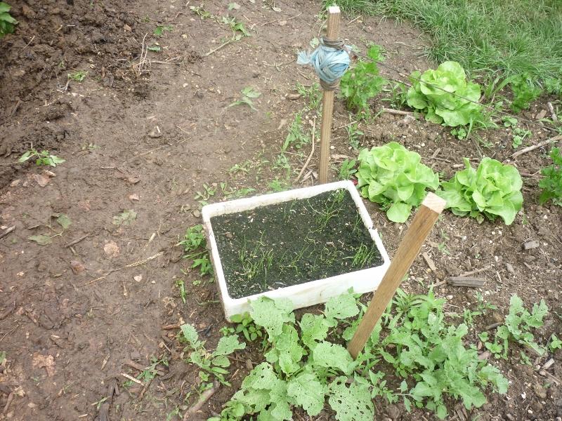 semis des plants P1180416