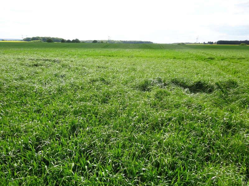 desherbage blé Rg_lef10