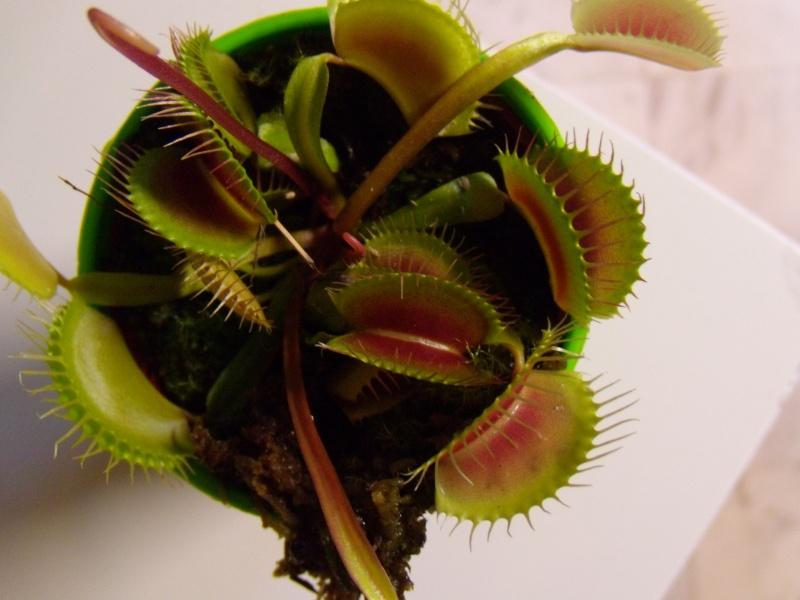 The Carrefour Dionaea Style!! Dscn1916