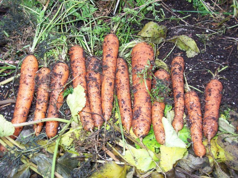 Carrot Observations 100_3026