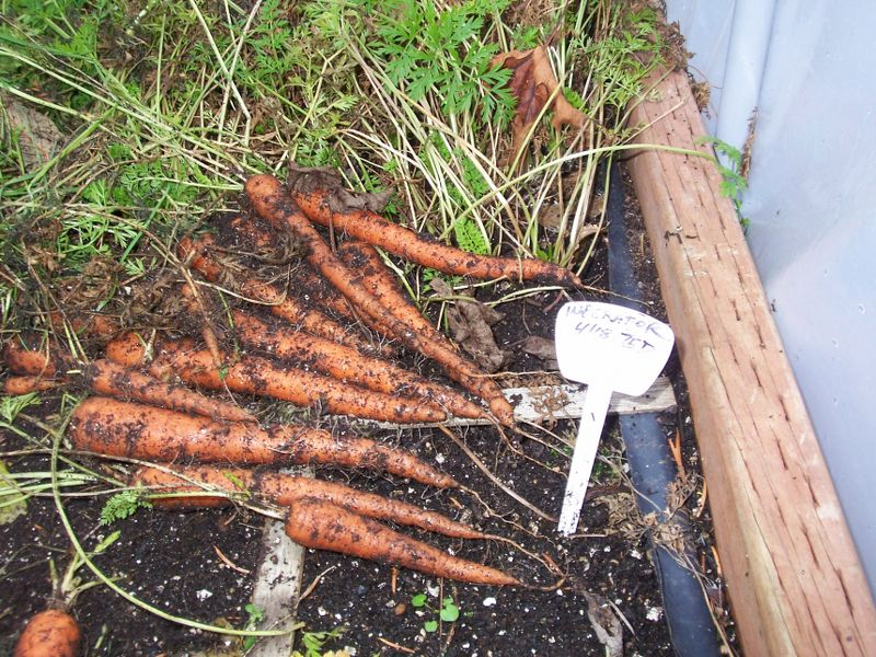 Carrot Observations 100_3027