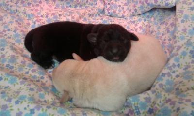chiot male labrador noir (reserve) Photo013