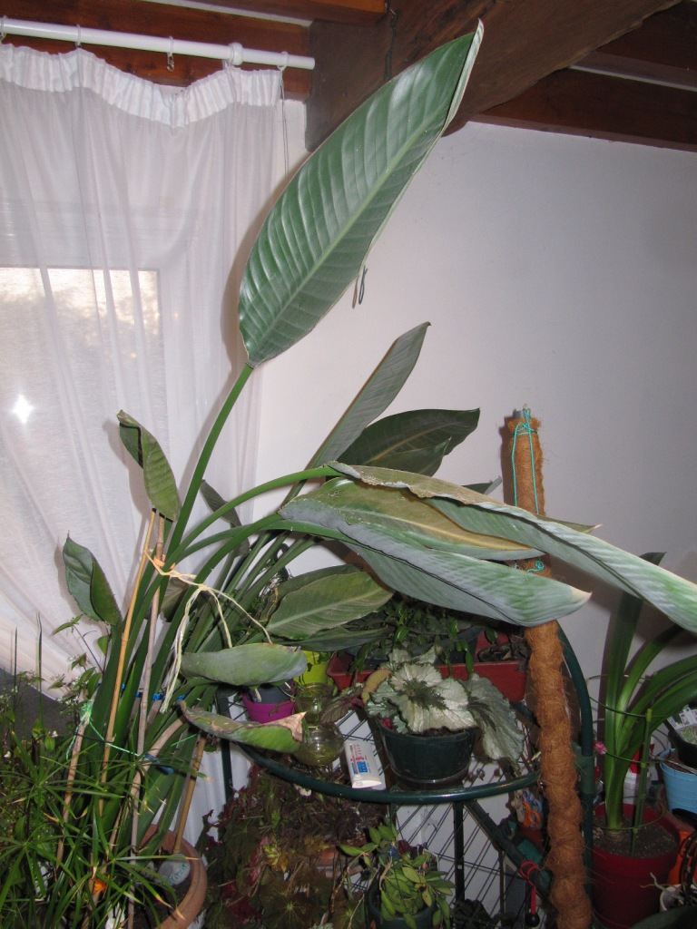 Age de mon Strelitzia reginae 00318