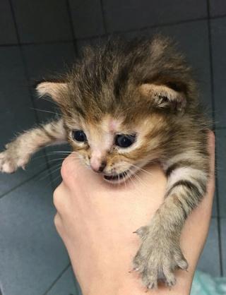 4 chatons femelle, 1 mois, Var  Chaton10