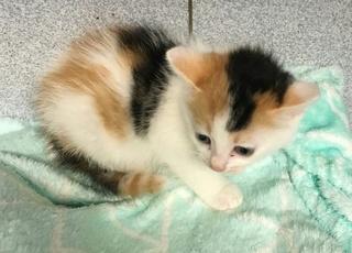 4 chatons femelle, 1 mois, Var  Chaton11