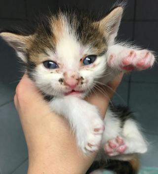 4 chatons femelle, 1 mois, Var  Chaton13