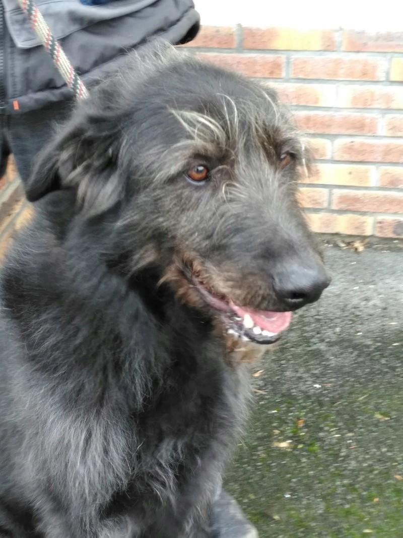 Prince x Irish wolfhound (lévrier irlandais)  male 6 ans de Béthune -  SPAE à Evreux (27) 27265710