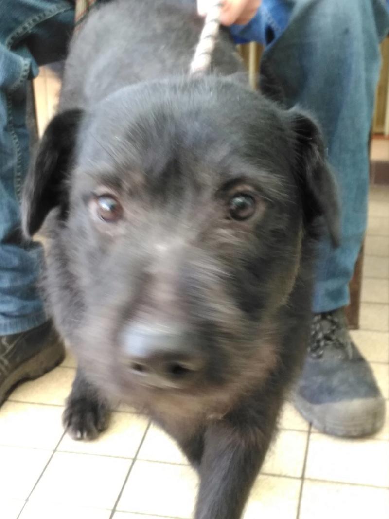 Santos  griffon noir male 2 ans de Béthune -  refuge du Mordant à Toul (54)   27835810