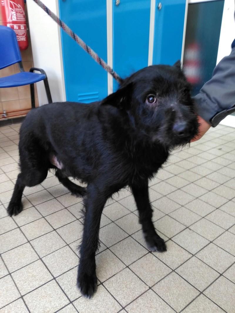 Santos  griffon noir male 2 ans de Béthune -  refuge du Mordant à Toul (54)   27902111