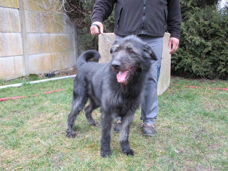 Prince x Irish wolfhound (lévrier irlandais)  male 6 ans de Béthune -  SPAE à Evreux (27) 27973510