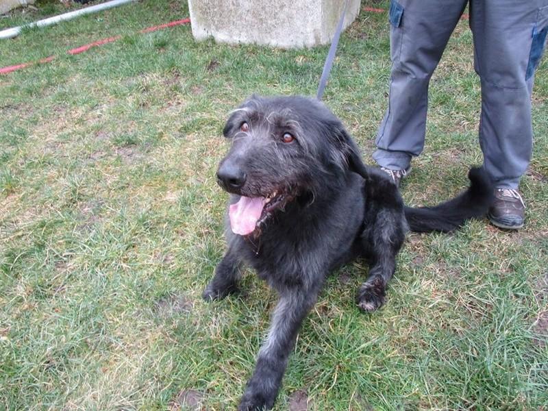 Prince x Irish wolfhound (lévrier irlandais)  male 6 ans de Béthune -  SPAE à Evreux (27) 28276510