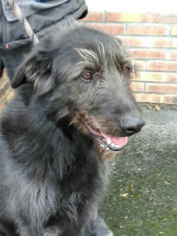 Prince X Irish Wolfhound Levrier Irlandais Male 6 Ans De Bethune Spae A Evreux 27