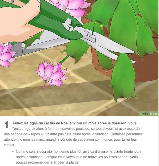 Cactus de Noël 100010