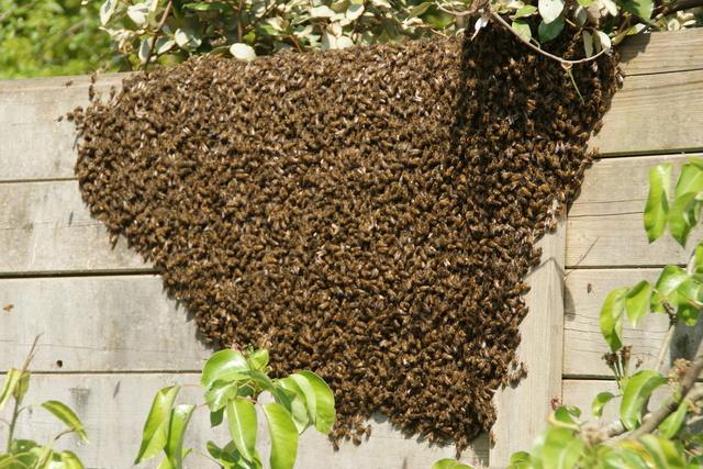 les abeilles Dsc03810