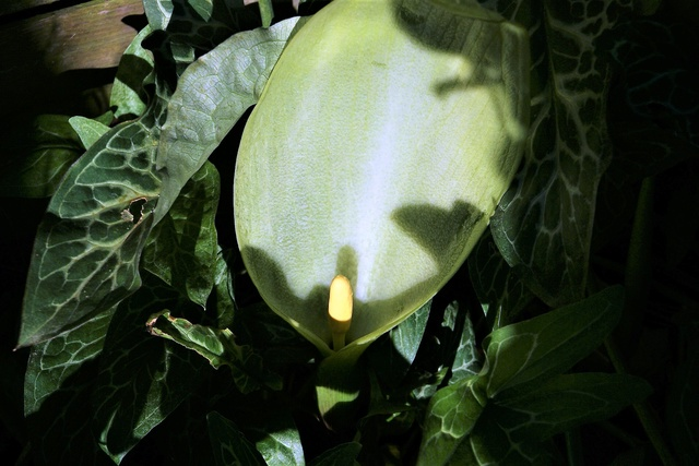 arum italicum Dsc04824