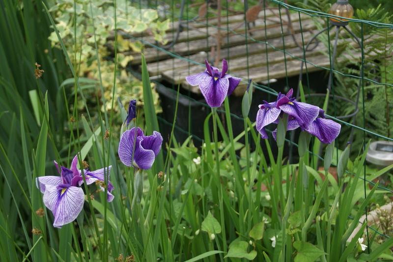Floraison d'iris 2017 - 2018 - 2019 - Page 9 Dsc05015