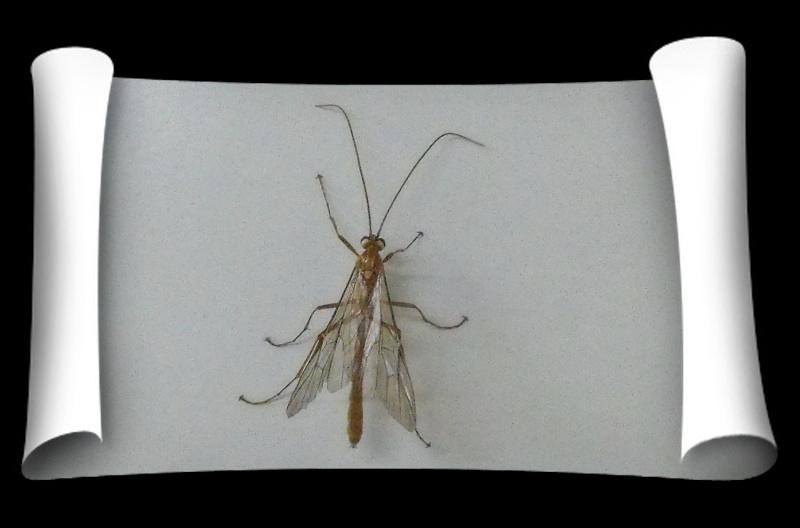[Ichneumonidae] Quelle est cette petite bête ?(post déplacé) Insect10