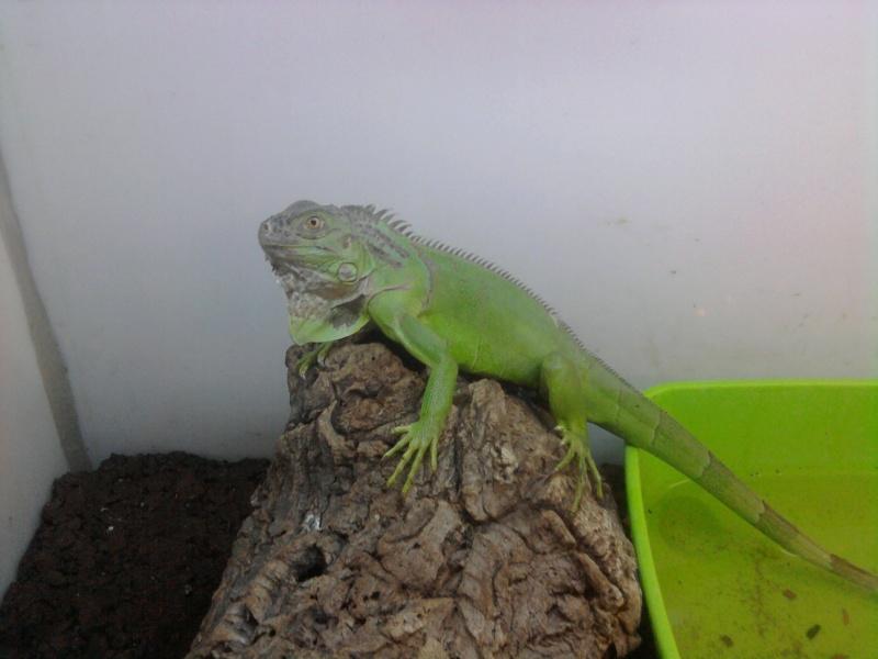 mon iguane Photo012