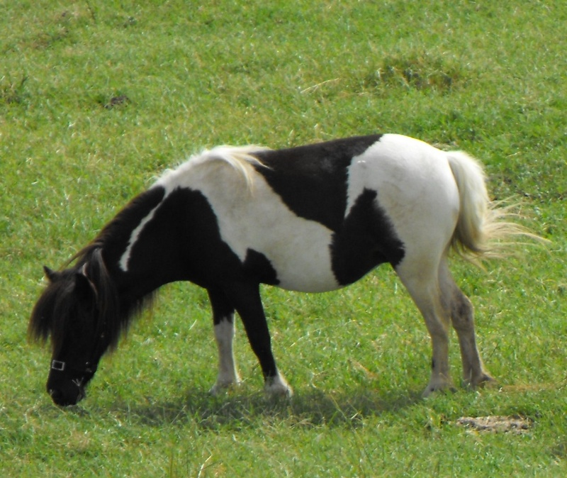 Reg Mares - Minnie World mare + 2x mini horses MAKE AN OFFER Dakota10