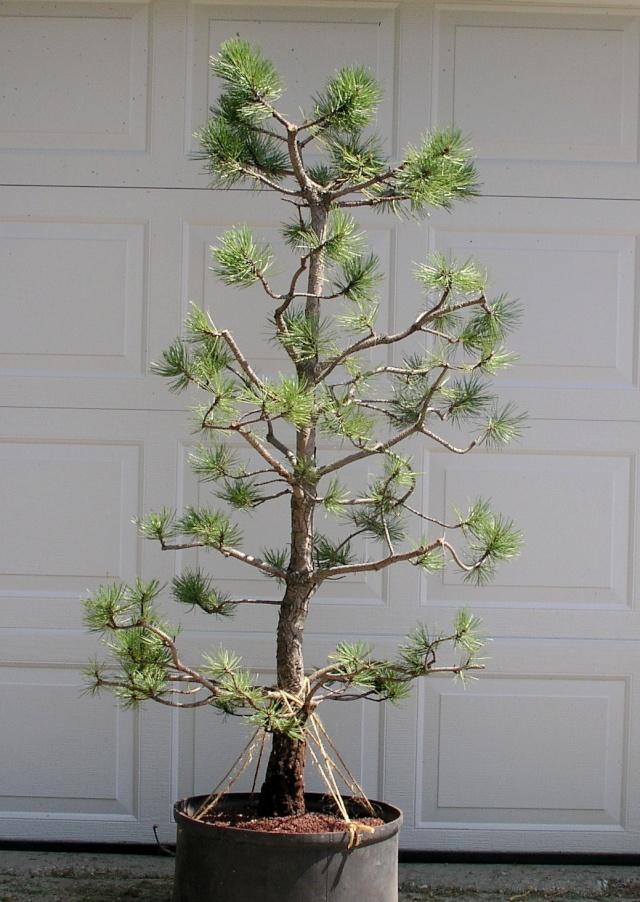 Austrian Pine styling question Austri16