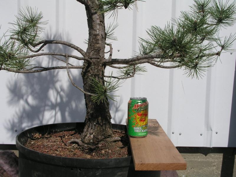 Austrian Pine styling question Austri19