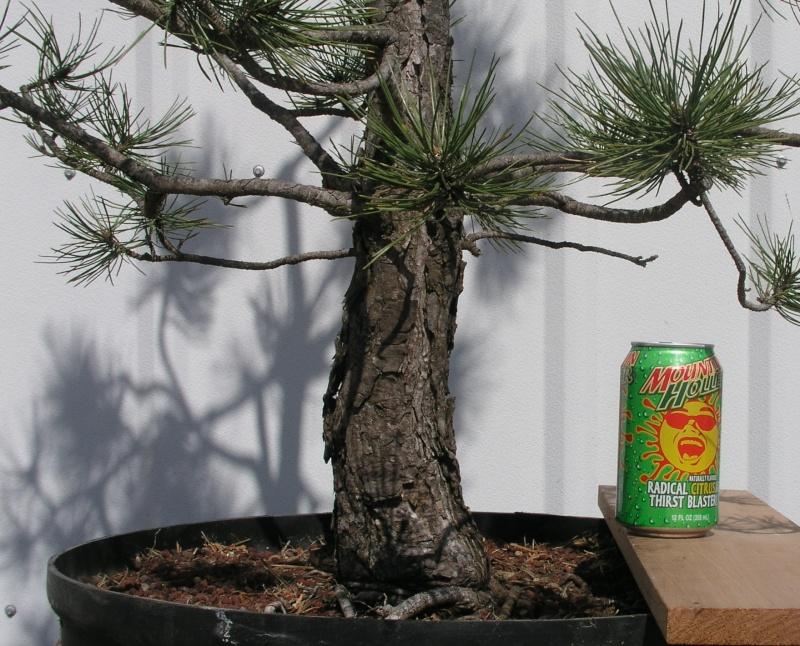 Austrian Pine styling question Austri20