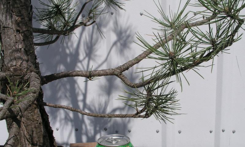 Austrian Pine styling question Austri21