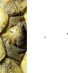 Graeca graeca-nabeulensis? Captur11