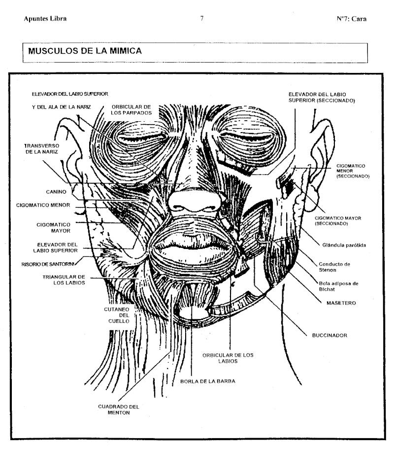 Apuntes sobre Musculos Faciales (05/05) Escane17